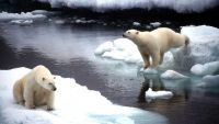 GRE01-19981102-LONDON, UNITED KINGDOM: Polar Bears in Alaska, USA, in September this year. Greenpeace claim Monday 02nd November that the effects of global climate change, including the melting and retreat of Arctic sea ice, is affecting polar bear