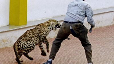 epa05149783 A photograph made available 08 February 2016 shows a leopard attacking a forest official at a school in Bangalore, India, 07 February 2016. A leopard that strayed into an empty school in south India injured three people before being captured