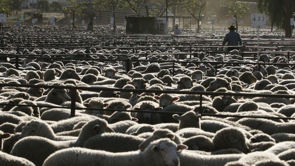 epa02785330 (FILE) A file photo dated 25 September 2007 showing some of the 33,000 sheep that were sold at the Forbes sale yards. Concern is growing over the increasing rate of foreign government-backed agencies buying up prime Australian