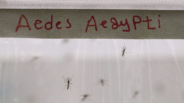epa05152819 Aedes Aegypti mosquitos, which transmit dengue fever and Zika virus, are pictured at the International Atomic Energy Agency (IAEA) Insect Pest Control Laboratory in Seibersdorf, Austria, 10 February 2016. Several Latin American countries