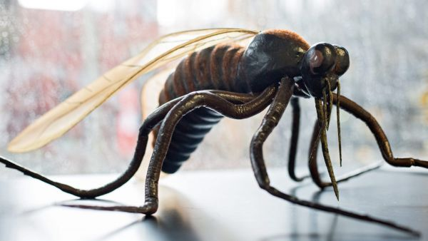 epa05175479 The model of a mosquito (Culicidae) is pictured in a laboratory of the Bernhard Nocht Institute for Tropical Medicine in Hamburg, Germany, 22 February 2016. Due to the spread of Zika, Dengue and West Nile viruses, Germany is stepping up its