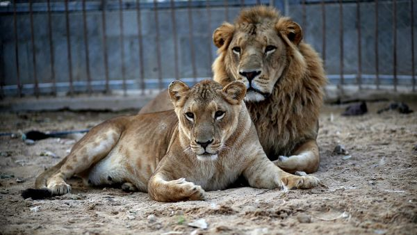 epa03956963 A male (R) and a female lion (L) lie in the sand at a zoo after the female gave birth to two cubs two days earlier in Beit Lahiya town in the northern Gaza strip on 19 November 2013. The cubs' mother and father were smuggled into Gaza